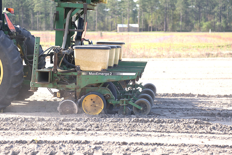 Corn planted at the Bellflower Farm on the UGA Tifton campus in this March 30 photo.