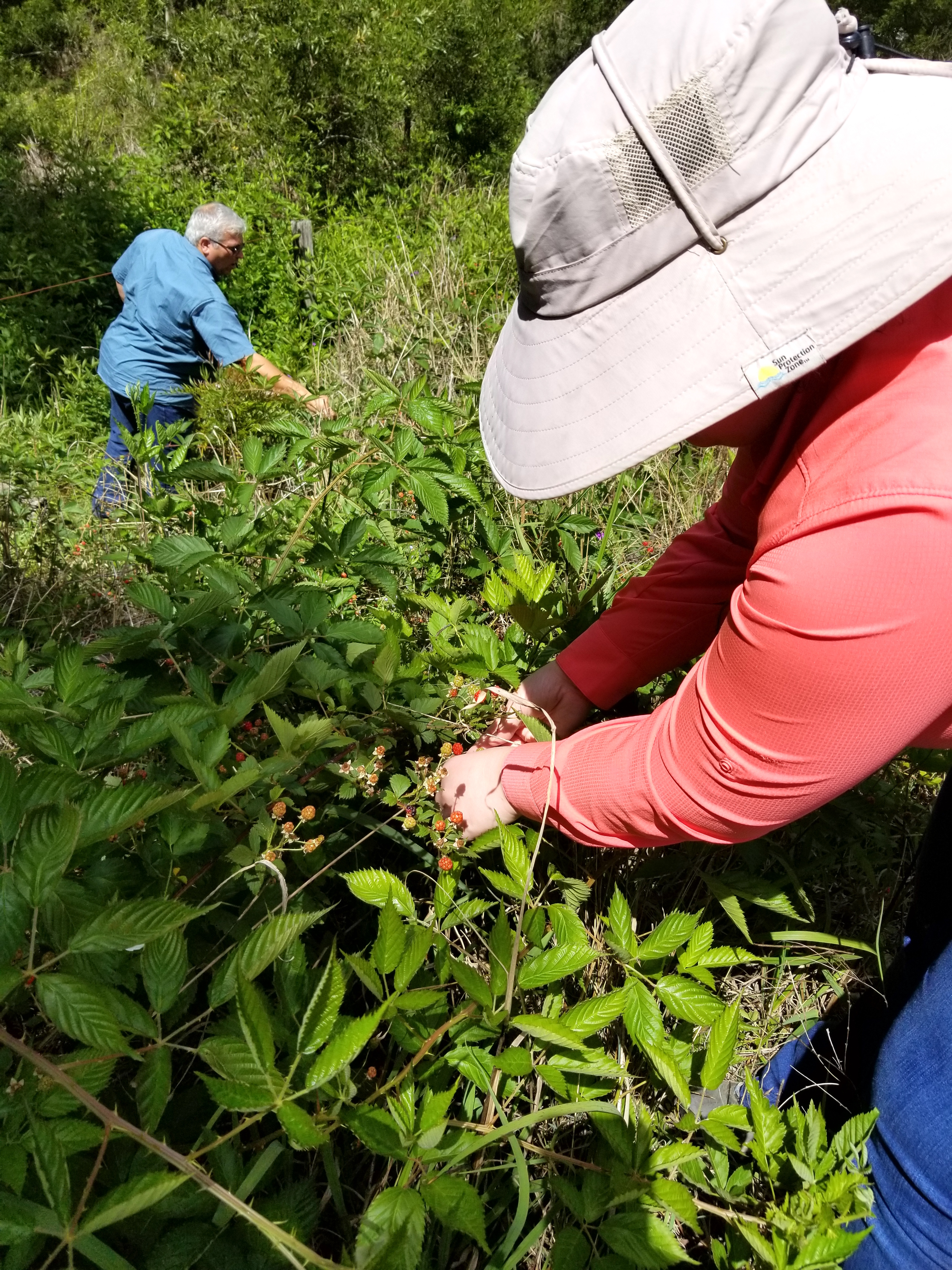 On a research trip to Australia, University of Georgia Horticulturist Rachel Itle collected about 100 seeds from each berry and a few hundred from each wild specimen. She brought a total of 16 Rubus specimens back to the UGA campus in Griffin, Georgia. She hopes to cross the plants that grow from these berries with common raspberry varieties grown in the U.S. to create varieties that can be grown by Georgia farmers.