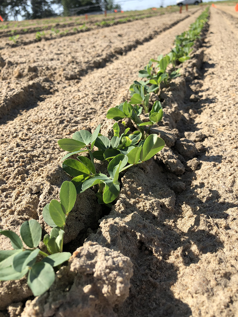 Peanuts seedlings part of UGA research in this 2018 photo. Because of the lack of rain over the past couple of weeks, peanut plants are likely to be irrigated this early in the growing season.
