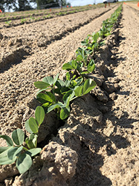 Excessive rainfall this winter could delay peanut plantings in some Georgia fields.