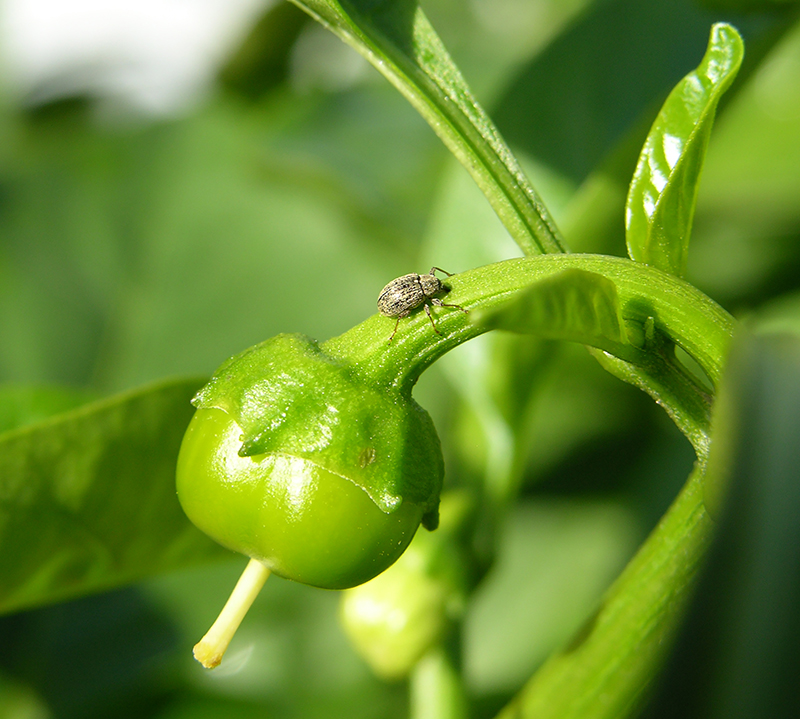 Pepper weevil on a plant.