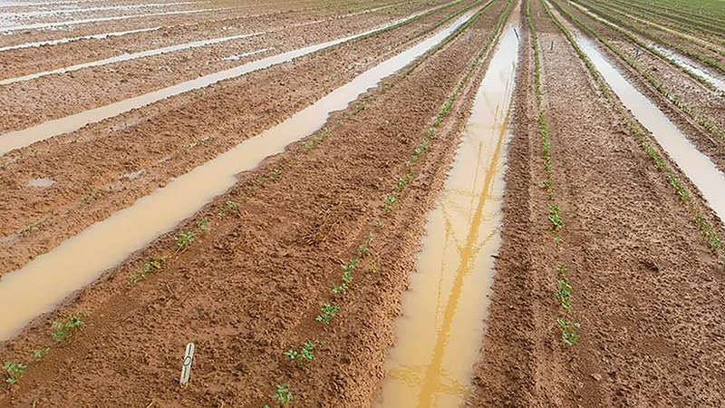 Peanut plants under water in Plains, Georgia. May 31, 2018