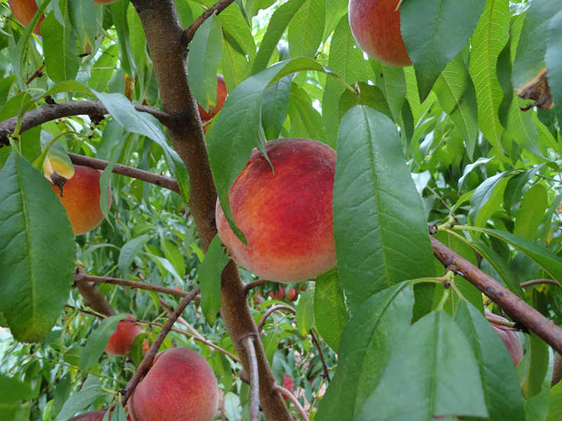 Peaches are growing better this year in Georgia, thanks in large part to more chill hours experienced during the winter in 2017-18.