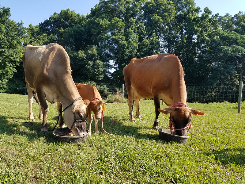 Three generations of the UGA Teaching Dairy Jersey herd — grandmother Hershel, granddaughter Mary Ethel and mother Brooks — dine together at the dairy.  Mary Ethel, who was born in May 2018, was dubbed Mary Ethel Creswell in honor of the first female graduate of UGA.