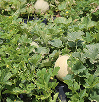 Since the early 1990s, numerous nationwide outbreaks of salmonella have been linked to fresh, whole cantaloupes. Several scientists from Arizona, California, Florida, Georgia, Indiana, North Carolina and Texas are conducting cantaloupe research with the goal of producing a quality melon with a different rind netting.