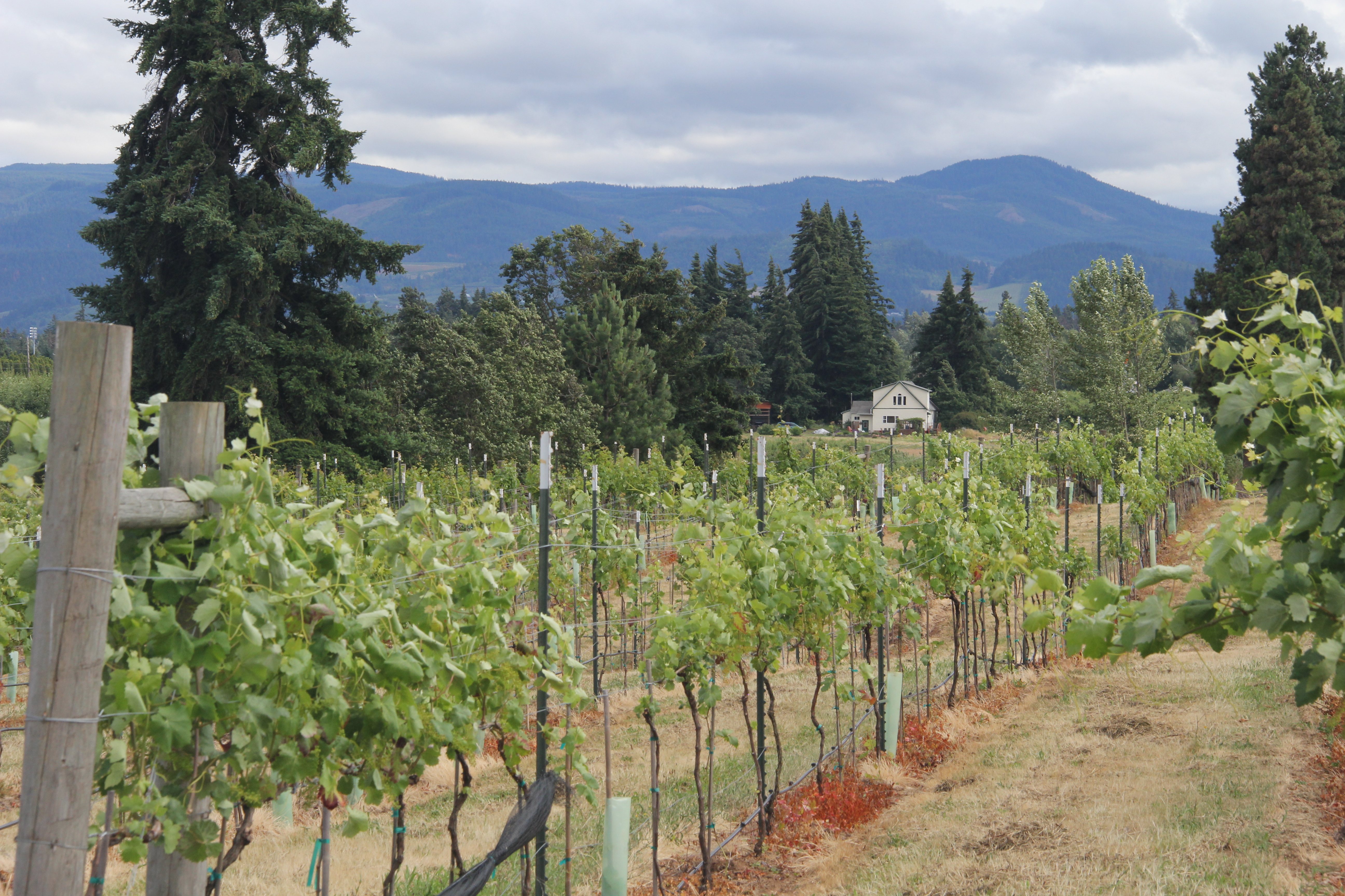 August 8, University of Georgia Cooperative Extension will host a tour of four northeast Georgia vineyards, focusing on the cultivation practices and grape varieties that have made Georgia's burgeoning wine industry possible.