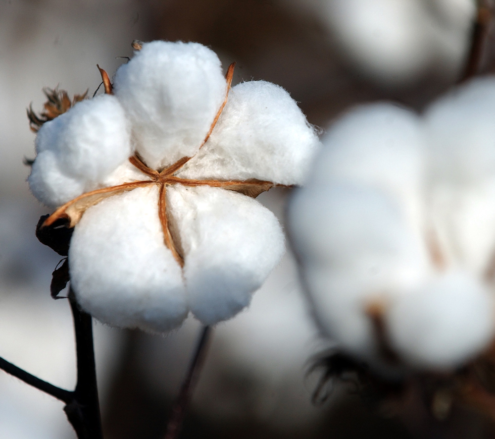 Upland cotton typically produces cotton with short or medium fibers.  Regents' Professor Andrew Paterson, and fellow CAES crop and soil sciences professor Peng Chee, are working to develop upland cotton varieties with longer fibers.