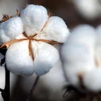 Georgia farmers will soon be harvesting their cotton crop. It's important for cotton producers to know when to defoliate to speed up the crop's maturity process.