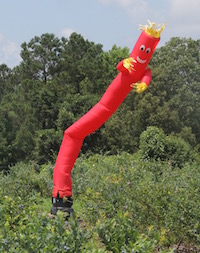 University of Georgia blueberry scientist Scott NeSmith has to keep birds away from his blueberry crop so that he can research and breed new varieties for Georgia growers. His latest trick — using a dancing, inflatable tube man to scare the birds — may lead passersby to believe that the UGA Griffin campus is selling cars.