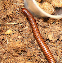 "Millipedes are often called ""thousand-legged worms."" They don't carry diseases that affect people, animals or plants, but some species are capable of secreting chemicals that can irritate the skin and eyes and cause allergic reactions."
