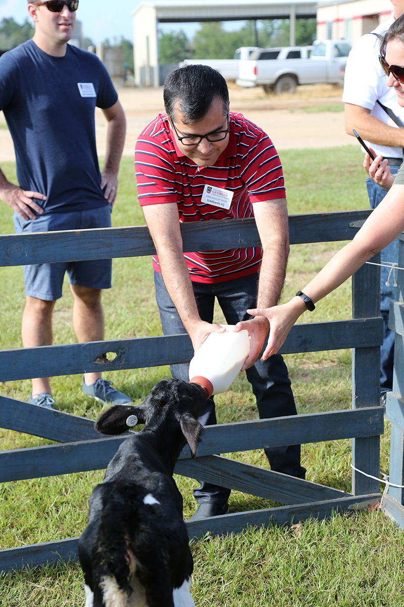 UGA's Siddharth Vij feeds a calf at the UGA-Tifton dairy.