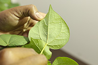 Whiteflies on a cotton plant in a lab on the UGA Tifton campus.
