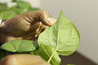 Whiteflies on a cotton plant in a lab on the UGA Tifton campus. August 24, 2018