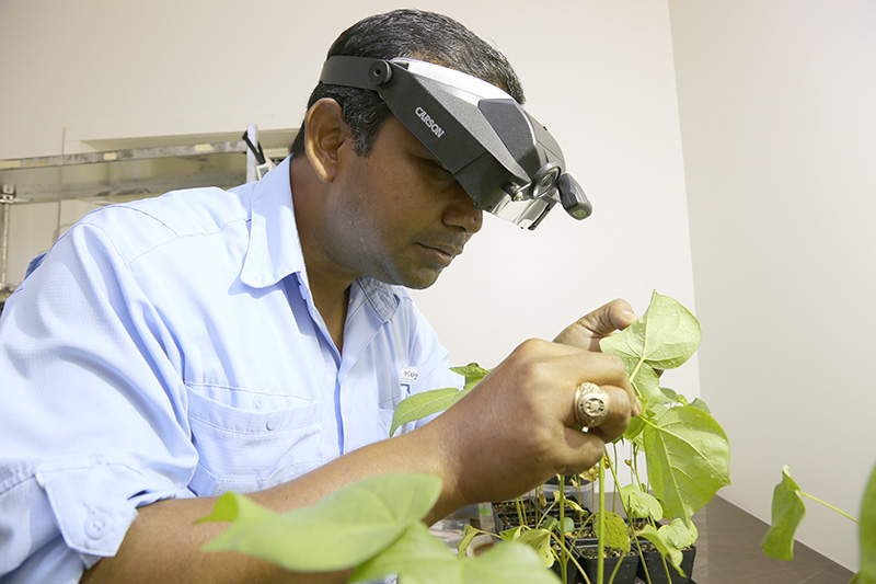 Apurba Barman, a post-doc researcher on the UGA Tifton campus, examines a cotton plant filled with whiteflies.