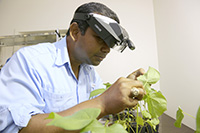 Whiteflies can transmit cucurbit leaf crumple virus and cucurbit yellow stunting disorder virus. According to UGA crop loss estimates for fall 2017, these viruses caused between 30 and 50 percent of crop loss in squash and cucumbers and nearly 80 percent of crop loss in snap beans.
