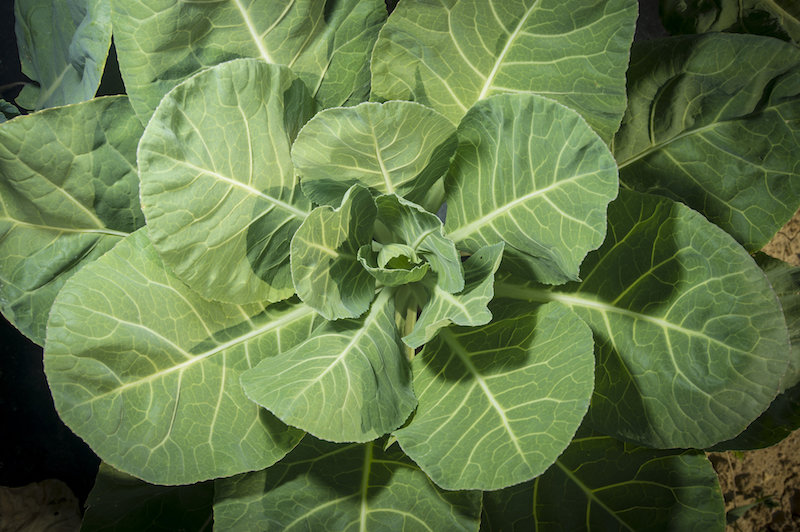 Collards are a true Southern favorite and in they grow well in Georgia fall vegetable gardens. University of Georgia Cooperative Extension experts recommend planting Collard 'Blue Max', 'Georgia Southern' or 'Hevi-Crop,' all varieties shown to perform well in Georgia.