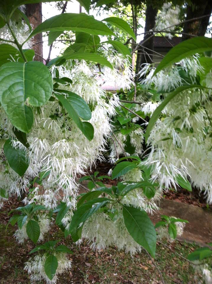 Adding flowering plants isn't the only way to add fragrance to landscapes. Trees, like this Chionanthus virginicus (white fringetree or grancy graybeard), can also provide beautiful and fragrant flowers.