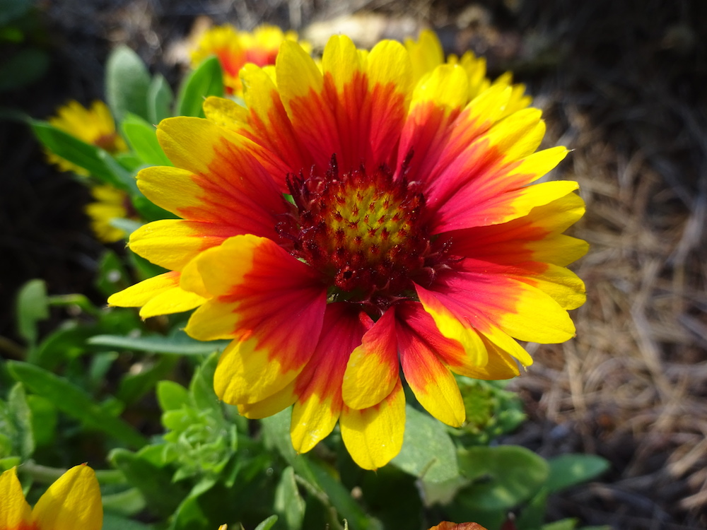 Gaillardia SpinTop, 'Red Starburst', from Dummen Orange, is among the Trial Gardens' Classic City Award winners.