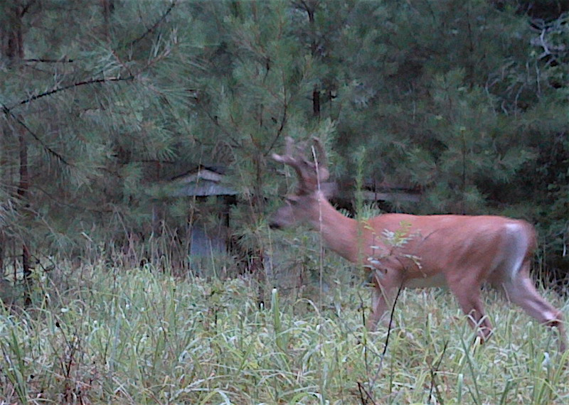Wildlife management efforts on small acreage are not in vain. These plots may not forever hold a flock of turkeys, a covey of quail, or a trophy buck, but they often become important parts of these animals' range. The photo of this buck was taken by a wildlife camera on a 7-acre lot.