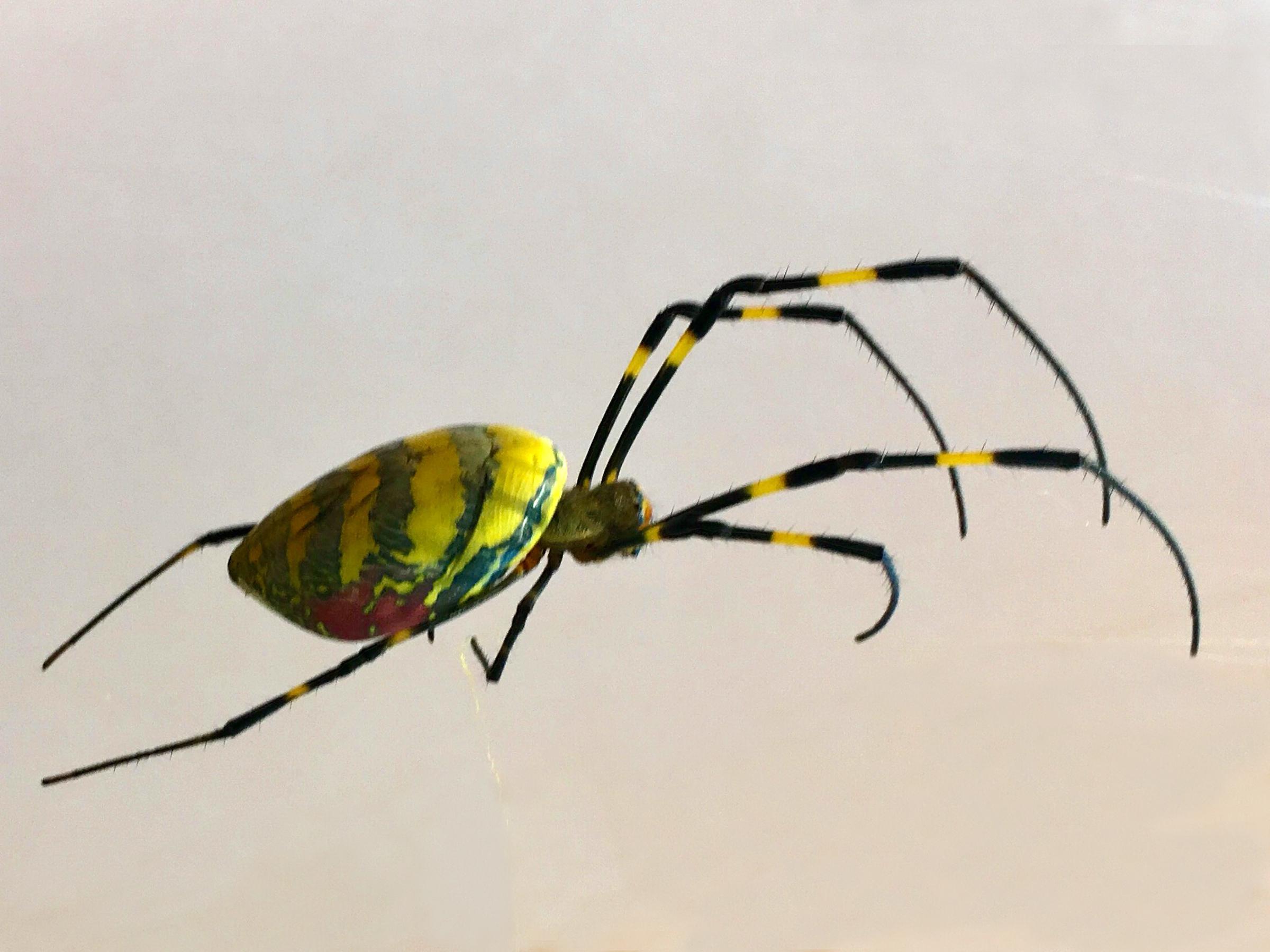 A Joro spider found in Hoschton, Georgia in 2018.