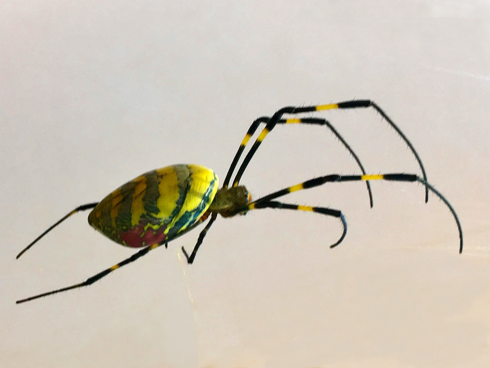 A Joro spider found in Hoschton, Georgia in 2018.