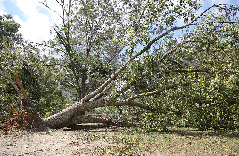 Uprooted pecan tree in Tift County due to Hurricane Michael.  10-11-18