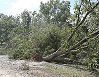 In October 2018, Hurricane Michael's strong winds uprooted pecan trees in Tift County, Georgia. Nearly a year after thousands of trees were destroyed by the hurricane, Georgia pecan producers are reporting the dieback of pecan branches and leaf burning in trees that initially survived the storm.