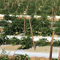 Some farms experienced close to 90 percent loss of their vegetable crops last week when Hurricane Michael tore through southwestern Georgia.  In this Grady County field, the wind lodged plants and defoliated them, exposing the peppers to sun damage.