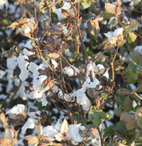 Cotton damage following Hurricane Michael in Turner County, Georgia.