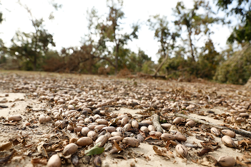 Pecans lie on the ground beneath 20-year-old pecan trees that were uprooted when Hurricane Michael blew through Decatur County, Georgia.