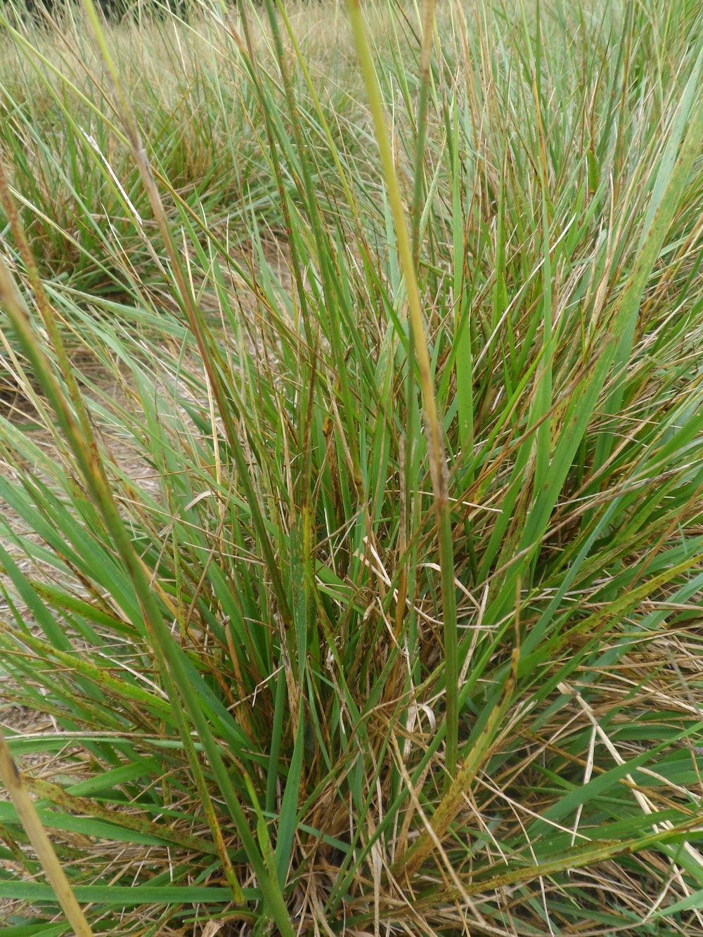 Tall Fescue Plant