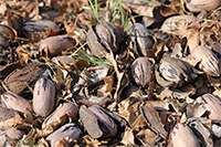Pecans on the ground following Hurricane Michael in Decatur County, Georgia.