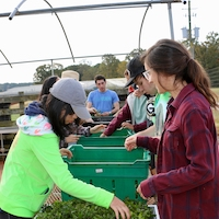 Volunteers at UGArden, University of Georgia's student-run farm, process peppermint for the UGArden Medicinal Herb Program's line of teas and self-care products.