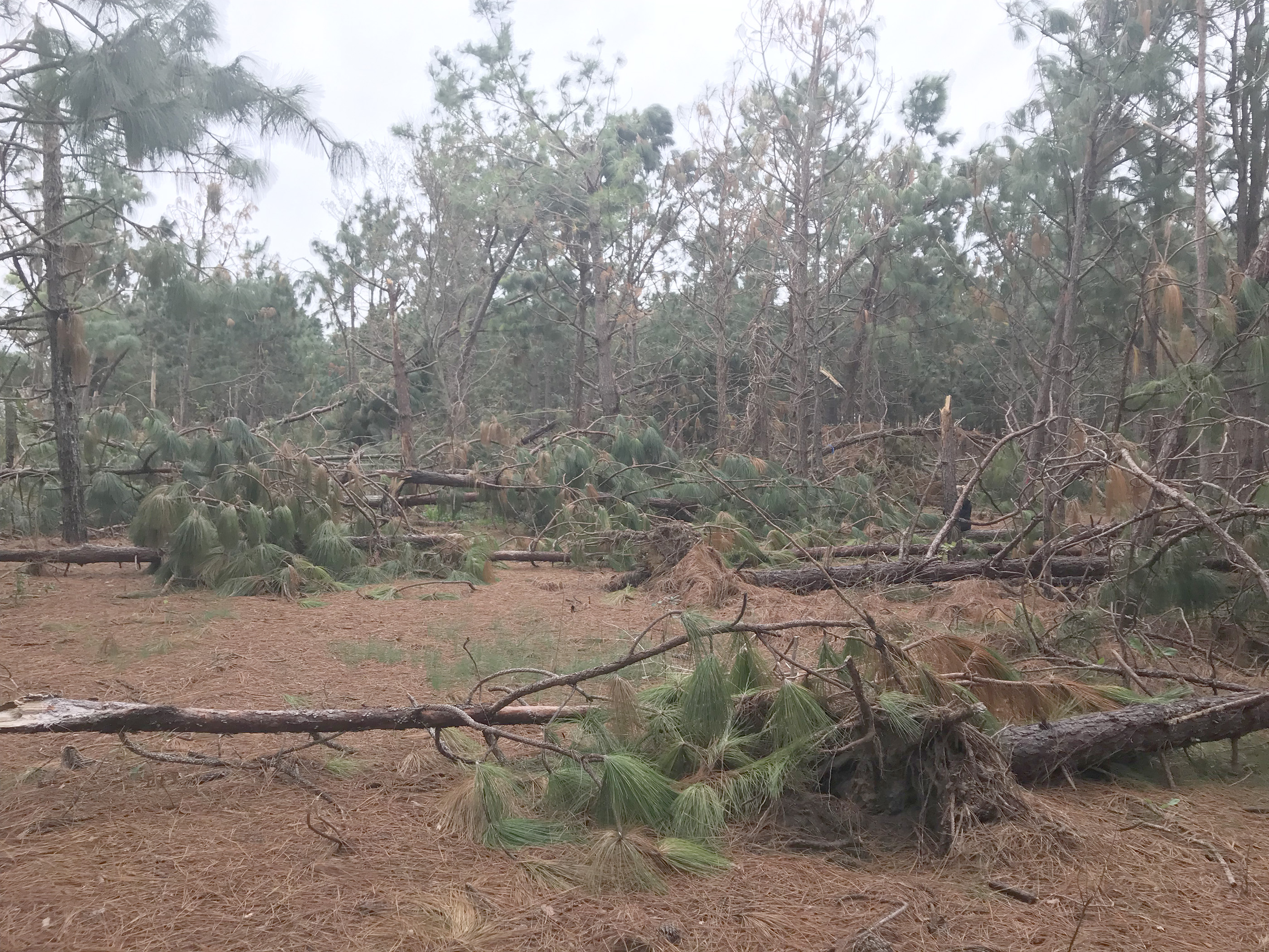 Pine trees toppled over after Hurricane Michael in Wilcox County, Georgia.