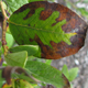 Bacterial leaf scorch, caused by the bacterium Xyella fastidiosa, causes what looks like burns on the blueberry leaves.