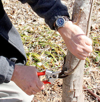 Bob Westerfield, UGA Extension consumer horticulturist, demonstrates a pruning technique during a class held on the UGA campus in Griffin, Georgia.