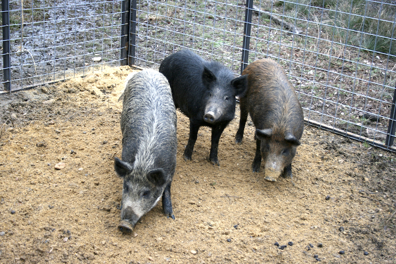 Without removing wild pigs from the landscape, it is nearly impossible to prevent them from using and damaging wildlife food plots. Fortunately, it is possible to prevent wild pigs from raiding protein feeders.