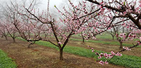 This picture shows peach trees blooming in middle Georgia. As temperatures increase, trees will start to bloom across the state, and farmers are wary of a late-season freeze in March.