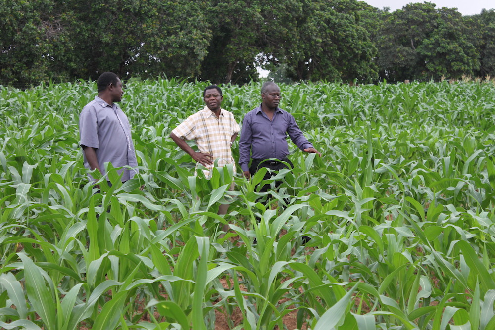 Eric Yirenkyi Danquah, founder of the West Africa Centre for Crop Improvement (WACCI), right, maize field with WACCI co-founder Kwame Offei, center, and maize breeder Martin Adjei.
