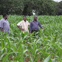 Eric Yirenkyi Danquah, founder of the West Africa Centre for Crop Improvement (WACCI), right, walks through a maize field with WACCI co-founder Kwame Offei, center, and maize breeder Martin Adjei.