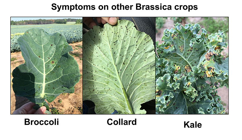 Pictured are the symptoms of Alternaria leaf blight disease on brassica crops, including broccoli, collard and kale. Alternaria is a foliar pathogen, and symptoms first appear on older leaves as small, dark spots that gradually enlarge with concentric rings.