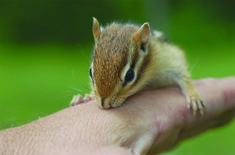 Chipmunks are territorial and rarely become numerous enough to cause a significant amount of damage. However, when the resources are right, populations can reach 20 individuals or more in an urban landscape and start causing noticeable problems.
