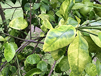 Citrus greening, or HLB, is spread by the Asian citrus psyllid, an insect that feeds on the plant's foliage and transmits the bacteria that causes the disease. UGA Extension fruit pathologist Jonathan Oliver says that if the Asian citrus psyllid becomes established in Georgia, it will transfer the bacteria from one tree to the next.