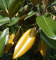 Broad-leaved evergreens like holly or Southern magnolia (seen here) lose older leaves when they turn uniformly yellow. Younger leaves remain healthy and green.