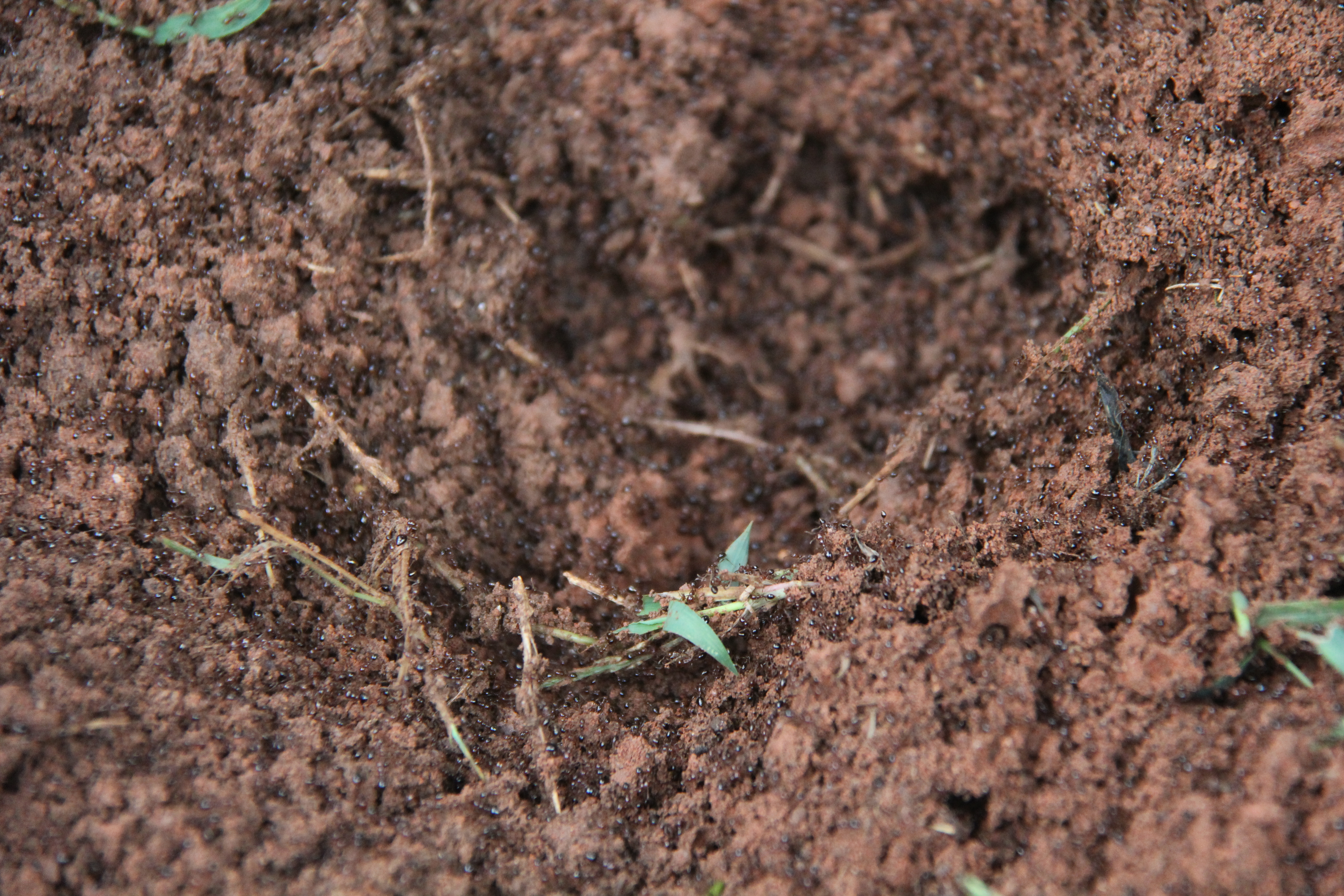 UGA entomologists have found that fire ant colonies can have one or many queens depending on the nest.
