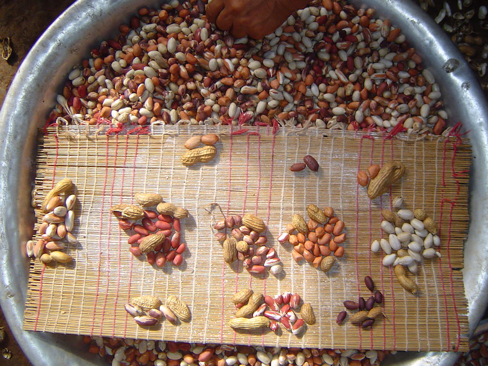 While Americans are familiar with one or two varieties of peanut, farmers in other parts of the world have been able to develop hundreds of varieties thanks to the peanut's natural ability to shuffle its two distinct subgenomes to produce new traits. These are some of the peanuts grown by the Caiabí people who live on the Ilha Grande, Mato Grosso, Brazil. The peanut crop is very important for them and they cultivate diverse types, each one with its own use, name and story. Photo by Fábio de Oliveira Freitas.