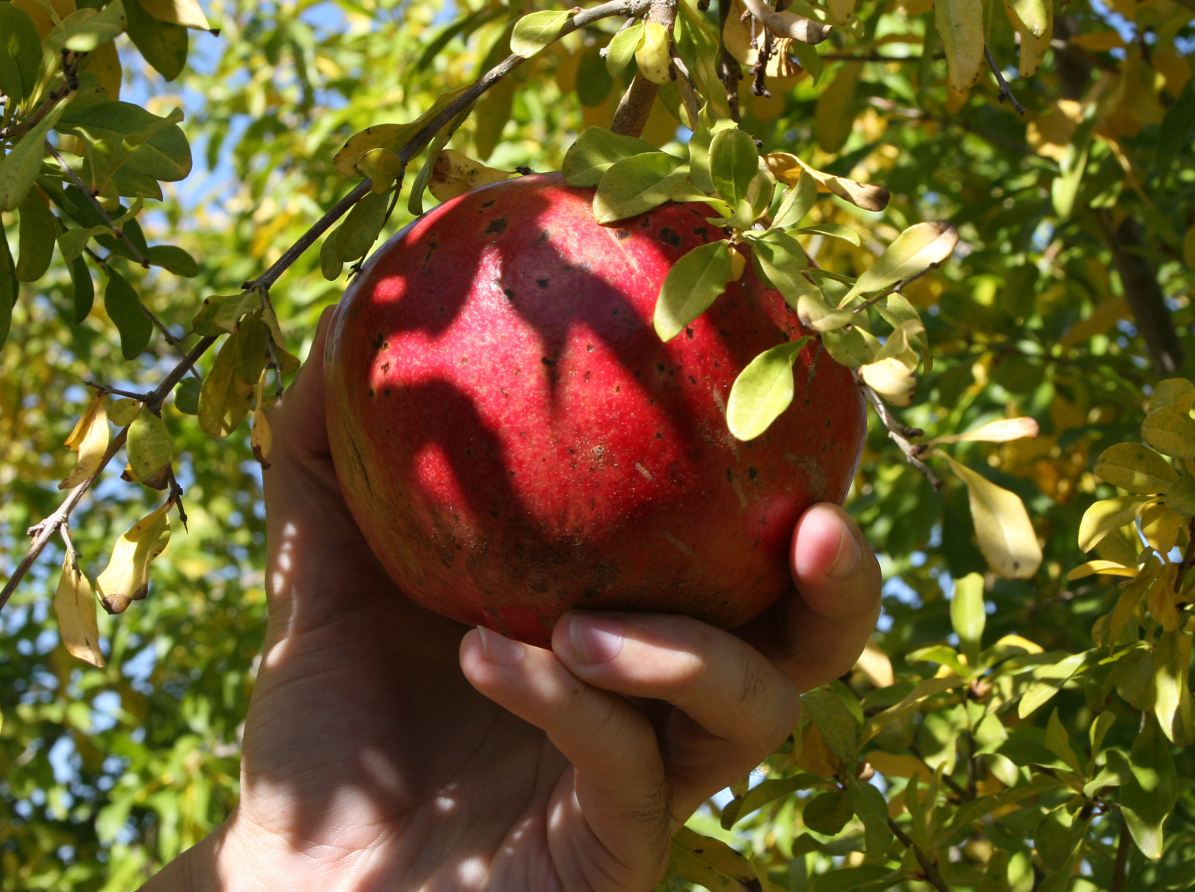 Dan MacLean, an assistant professor of horticulture on UGA's Tifton campus, checks a pomegranate for ripeness.