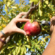 Dan MacLean demonstrates the easiest way to pick a pomegranate - with a pocketknife.
