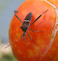 When it comes to insect pest problems in a vegetable garden, leaf-footed bugs are among the most difficult to control. The immature stage of the bug is bright orange. This adult leaf-footed bug sits atop a tomato that has cracked, likely from too much moisture.