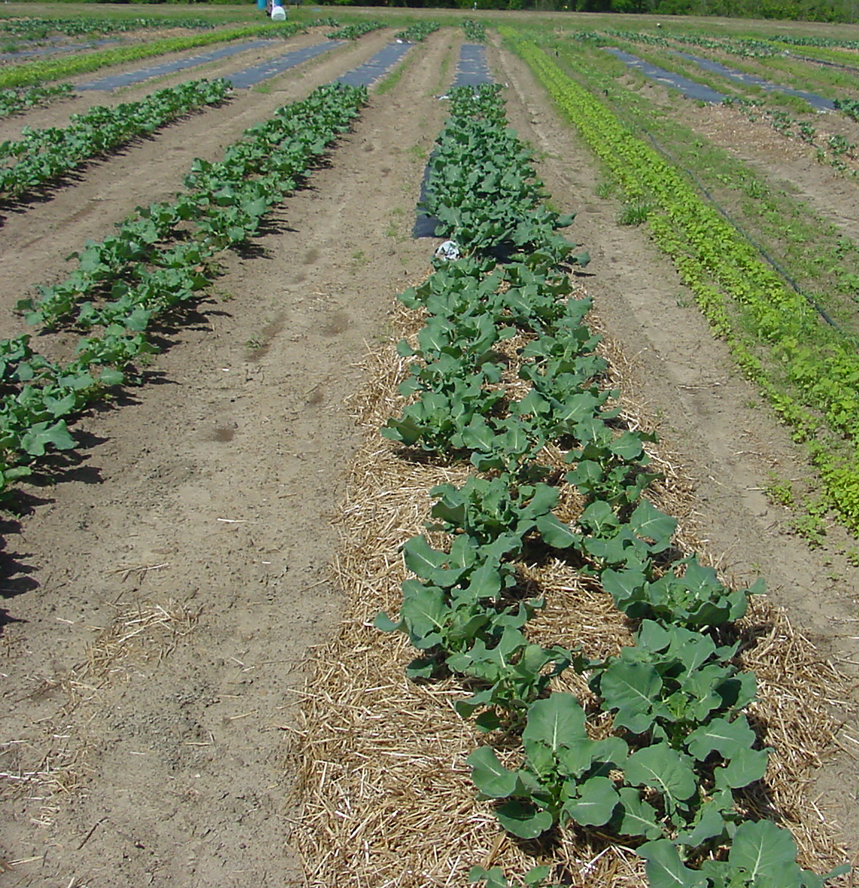Broccoli grown on the UGA Tifton Campus is pictured growing on wheat straw mulch, plastic mulch and on bare soil.
